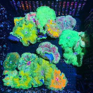 Mini Maxi Carpet Anemone 1-3""