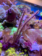 Purple Willow Gorgonian (aquacultured)