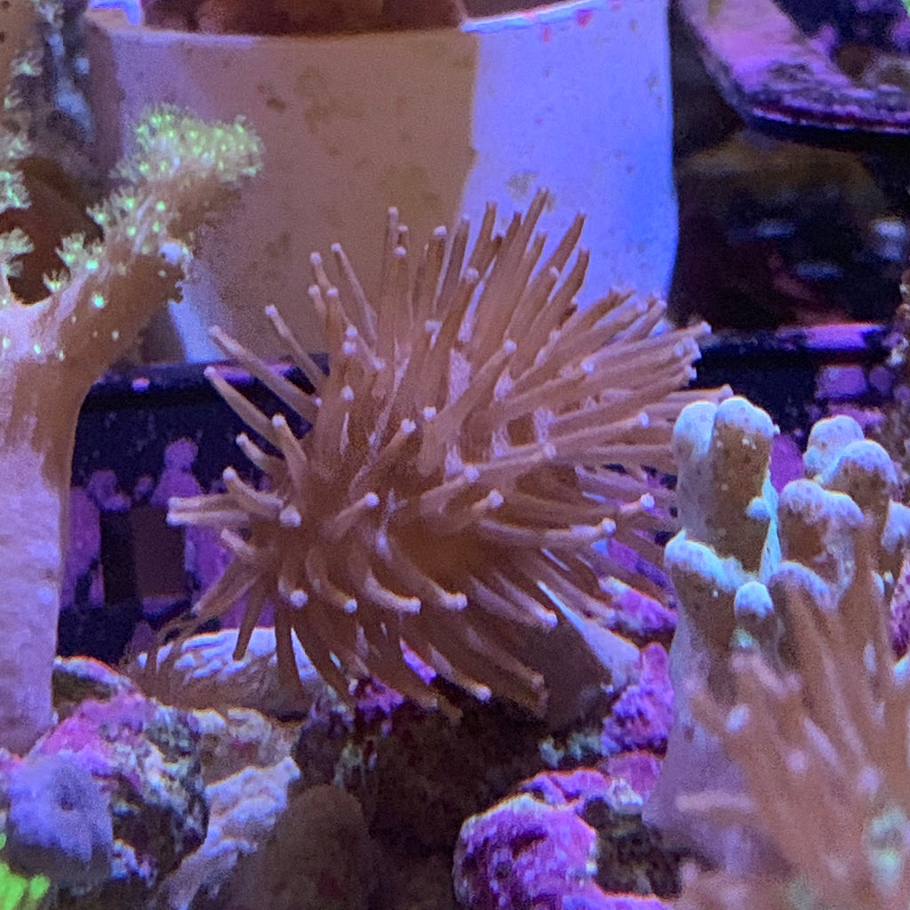 Toadstool Leather Coral (Aquacultured)