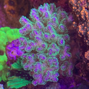 Green & Purple Pocillopora (FRAG)