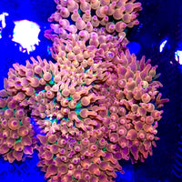 Super Rainbow Rose Bubble Tip Anemone