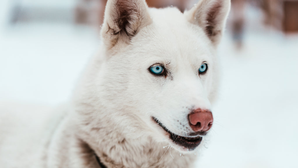 Husky with gorgeous blue eyes