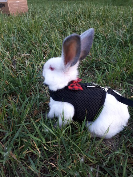 Bow Tie Rabbit Harness