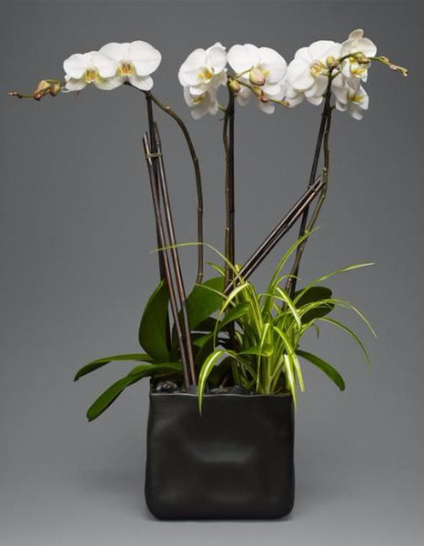 Triple Stem Orchid Garden