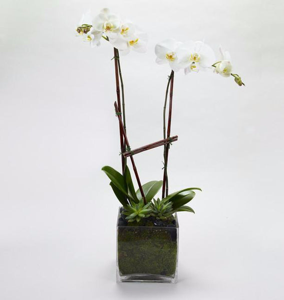 Double Stem Orchid Garden