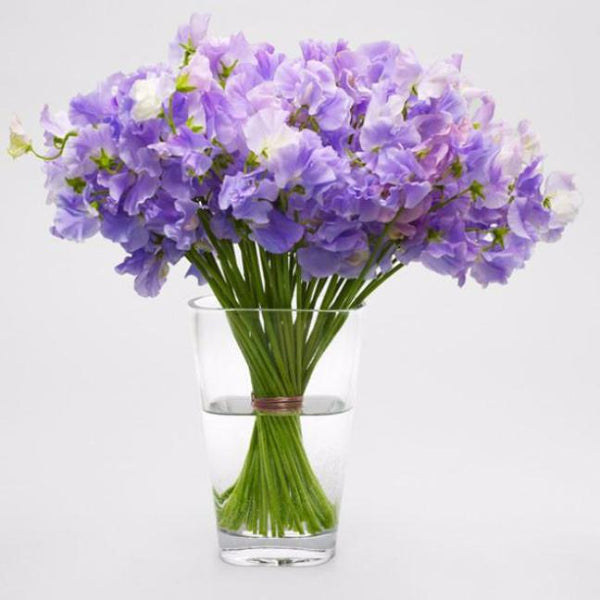 Lavender Sweet Pea Clear Water