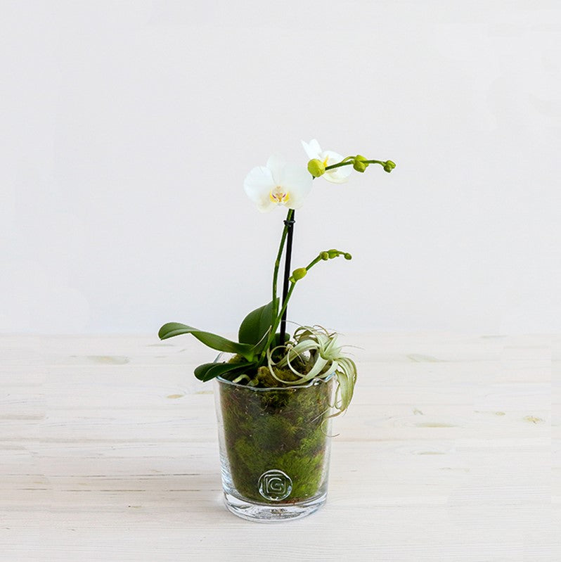 Mini Phalaenopsis in Gommaire Glass