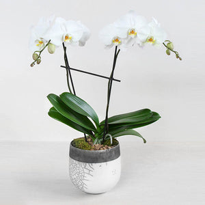 Phalaenopsis in White Raku