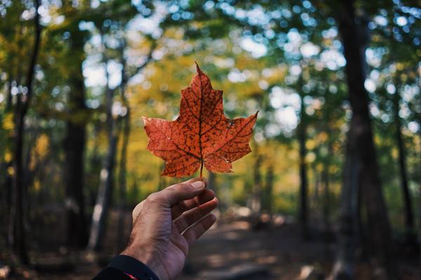 Person holding a maple leaf in the forest