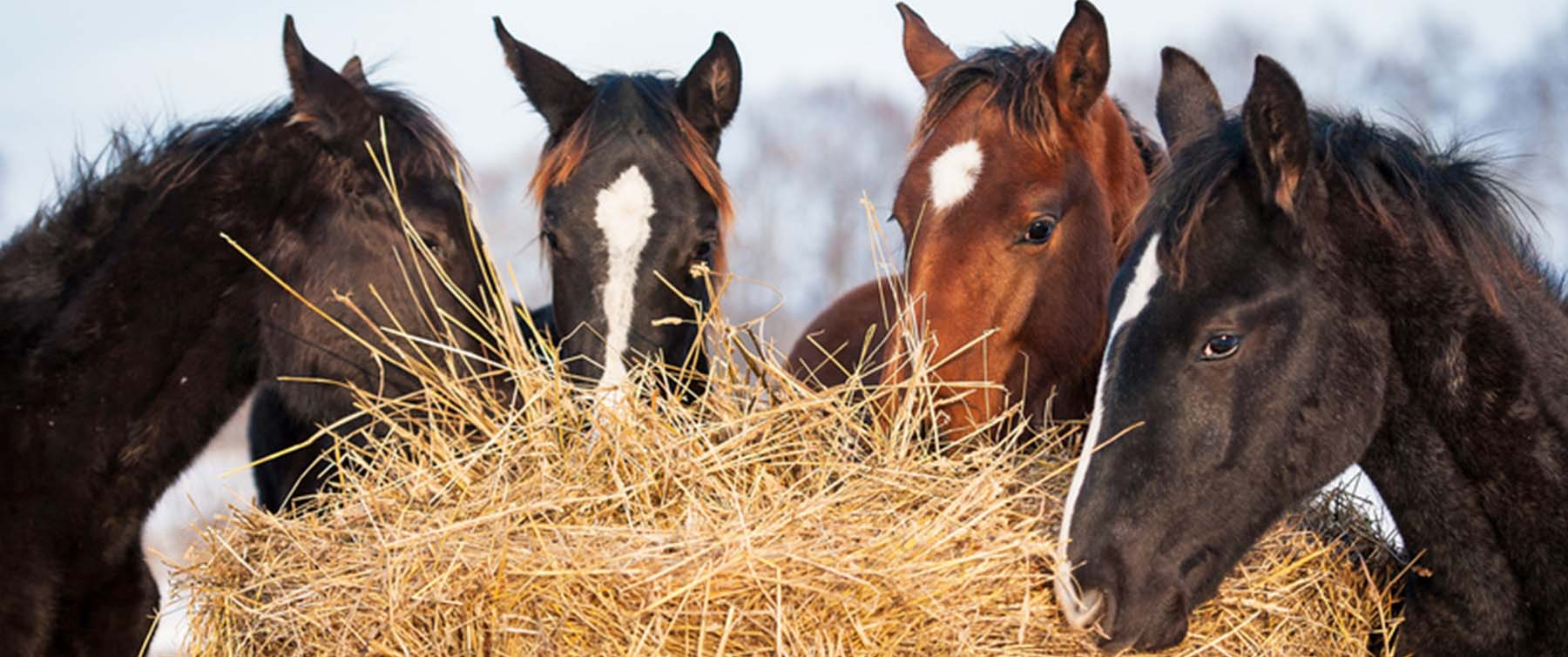 Winter Feeding Guide for Horse Owners