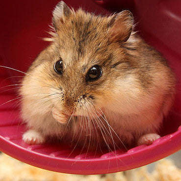 Dwarf Hamster Accessories