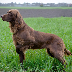 German Long-haired pointer