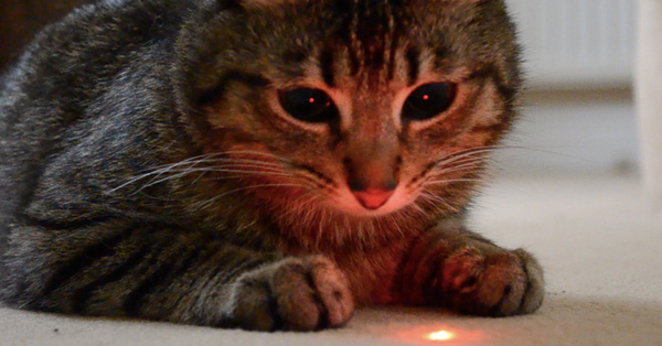 cat playing laser pointer