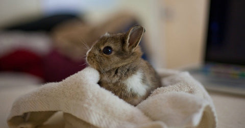 bunny in a blanket