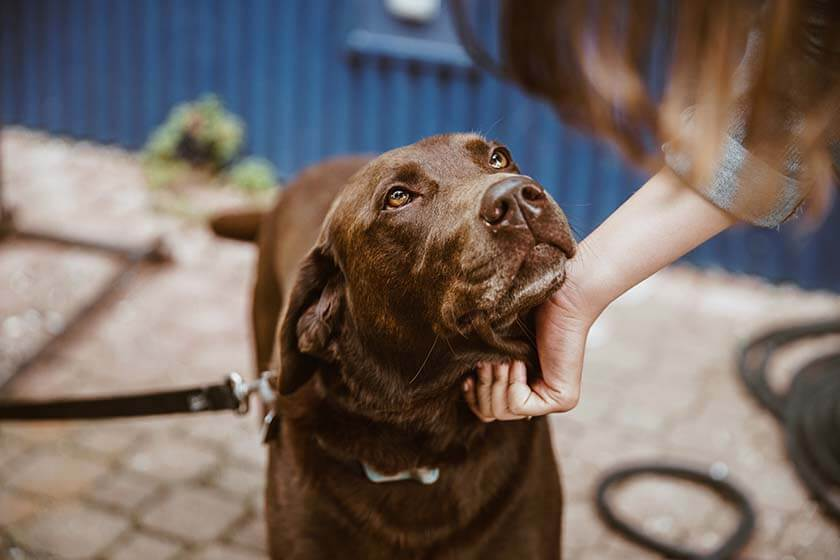 Check out the PetnPony Blog and you will get a lovely chocolate Labrador looking at you