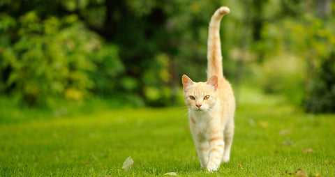 cat wagging tail