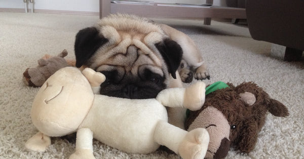 pug with toys