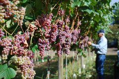 Mt. Hope Farms, the best table grapes for our wholesale customers