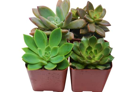 Four Small Succulent Plants