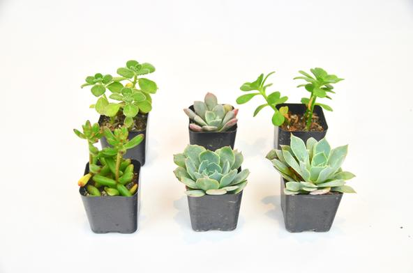 Six Small Succulent Plants