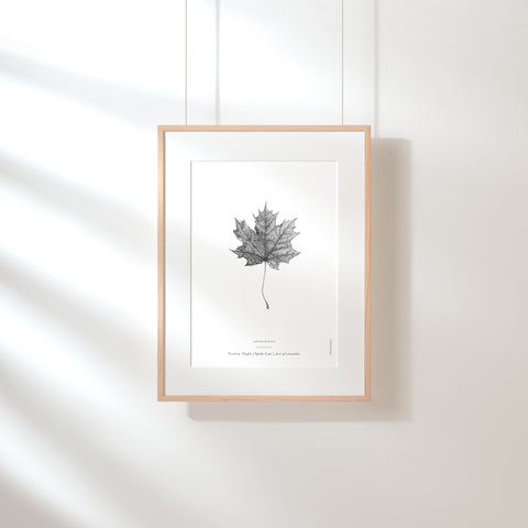 Norway Maple Leaf Art Print - Darling Spring