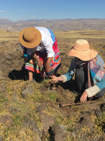 Harvesting maca in Andes