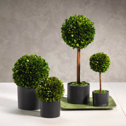 Boxwood Topiary in Black Glazed Pot