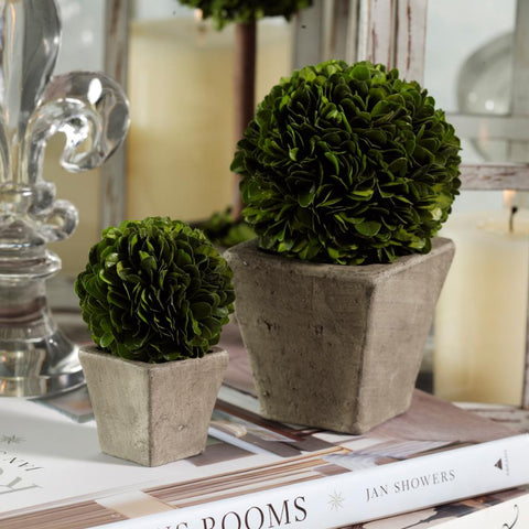 Round Boxwood Topiary in Square Pot