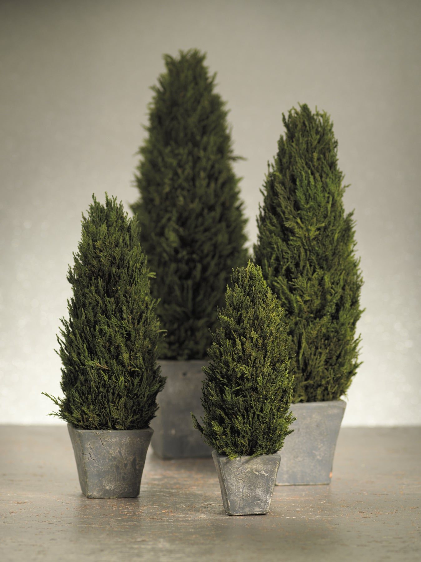 Cypress Tree Topiary - CARLYLE AVENUE