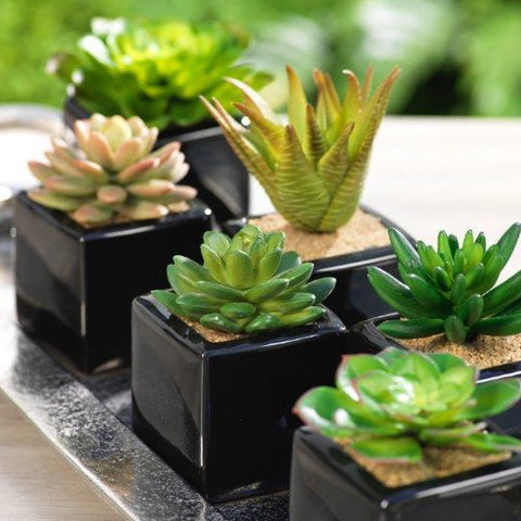 Assorted Desert Succulents in Ceramic Container - Set of 6