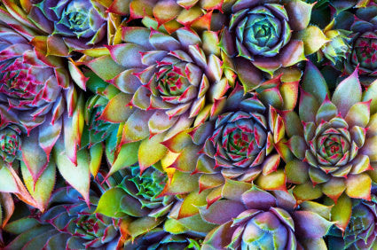 Hardy Blend Hens & Chicks Succulent Seeds - 300 Seeds