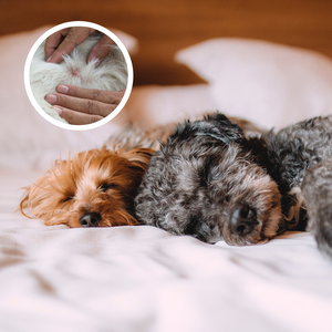 Bed Bugs and Pets – Can My Pets Carry Bed Bugs?
