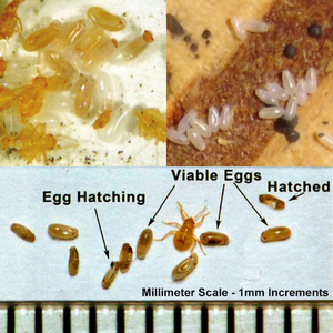 Bed Bug Eggs Pictures: Identifying How the Eggs Look Like