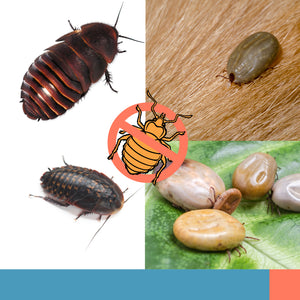 Bugs Often Mistaken For Bed Bugs