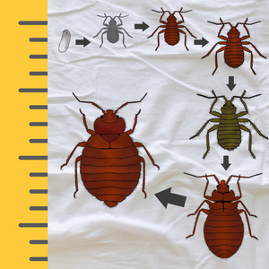 What is the Actual Size of a Bed Bug?