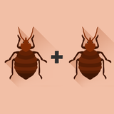 bed bugs mating