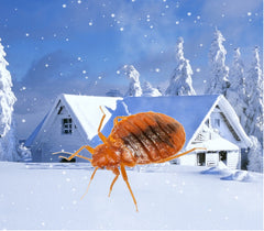 Bed bug in the winter