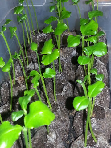 Etrog Seedlings from 2013