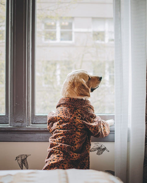 dog wearing a pyjama by the window