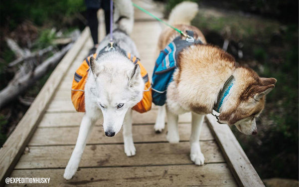 huskies walking with backpacks