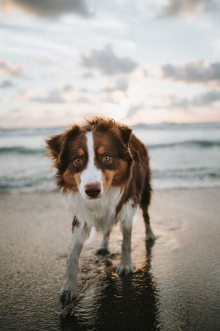 dog walking on a beach being photgraphed at eye level