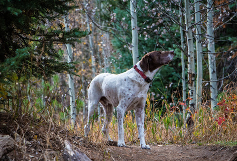 German Pointer Gundog