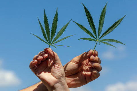 hands holding cannabis legalization
