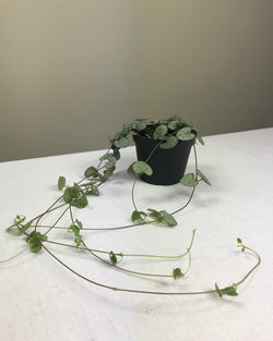 STRING OF HEARTS / CEROPEGIA WOODII