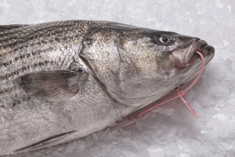 Wild Striped Bass
