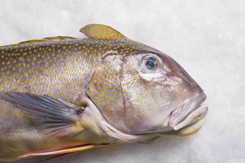Golden Tilefish