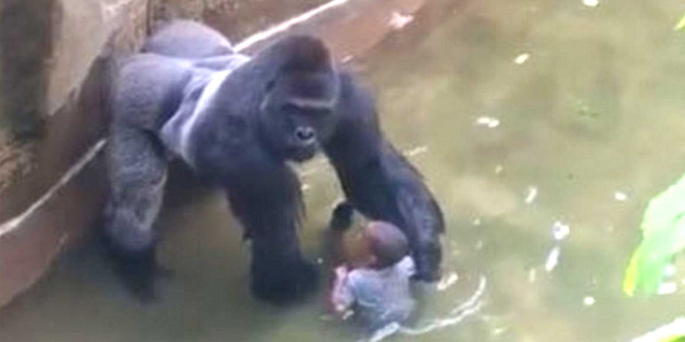 UPDATE: New Video Shows Gorilla 'PROTECTING' Little Boy