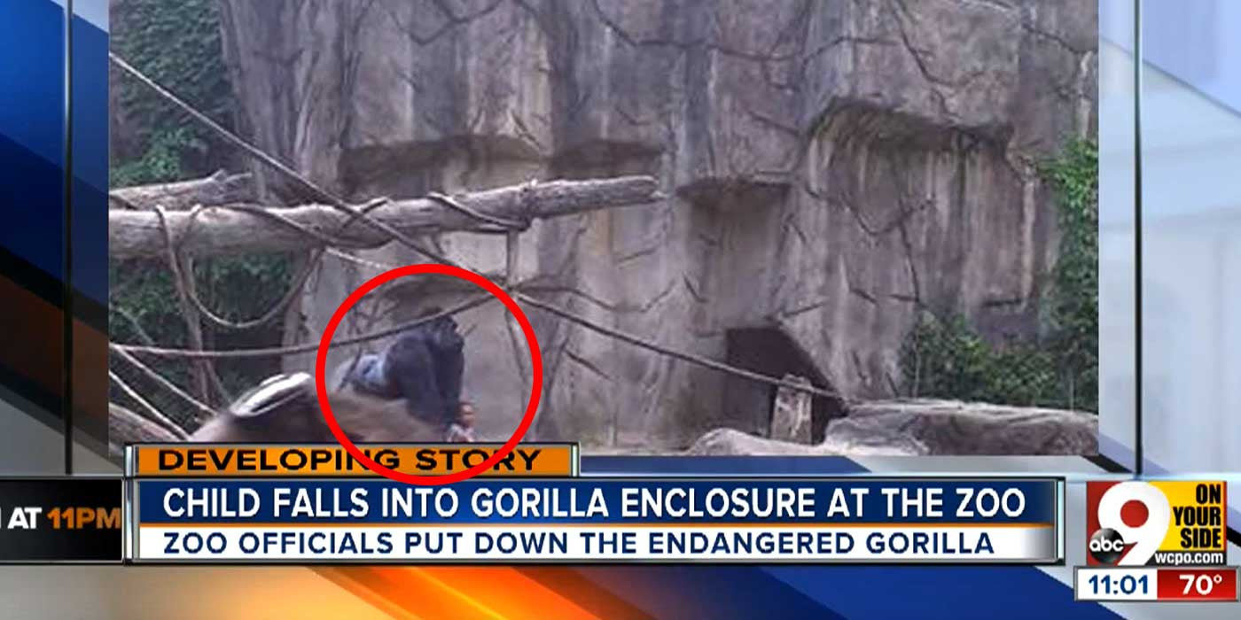 RAW VIDEO: Cincinnati Zoo Shot Gorilla Dead To Save Boy