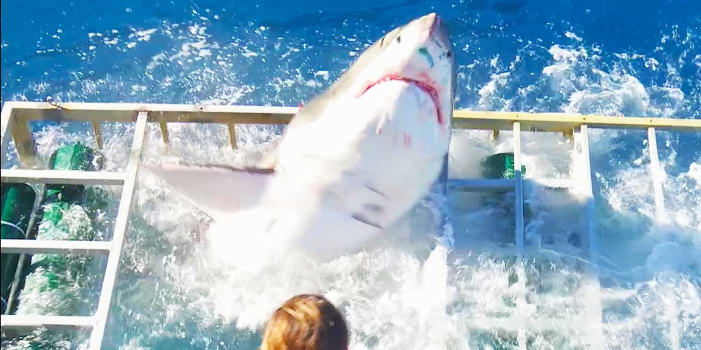 WATCH: Great White Shark Breaches Cage With Diver Inside (FULL VIDEO)