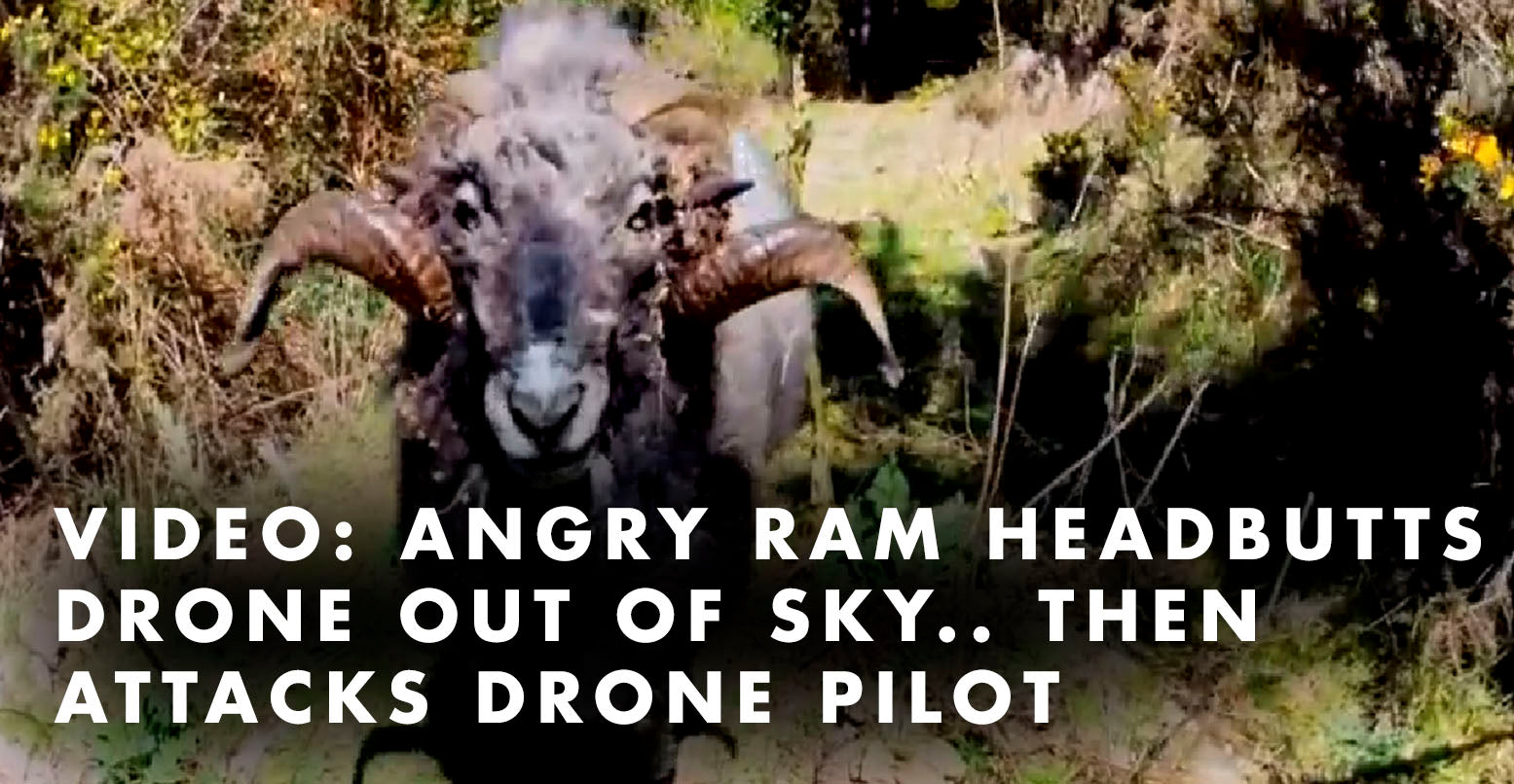 VIDEO: Angry Ram Headbutts Drone Out of Sky.. Then Attacks Drone Pilot